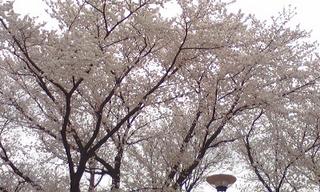 130325_shinagawa_bukonomori_sakura.jpg